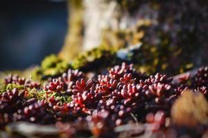 succosa succulenta rossa che cresce sul terreno vicino allo sfondo bokeh dell'albero foto