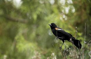 un merlo dalle ali rosse appollaiato su un ramo di fieno foto