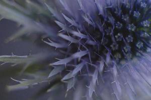 primo piano di un bellissimo fiore spinoso sfocato foto