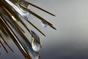 gocce di gelo su un ramo d'inverno foto
