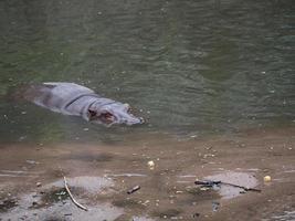ippopotami in acqua foto