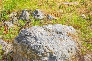 lucertole di iguana su una pietra calda nella natura tropicale del Messico. foto