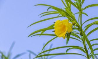 fiore giallo dell'oleandro sull'albero con cielo blu nel messico. foto