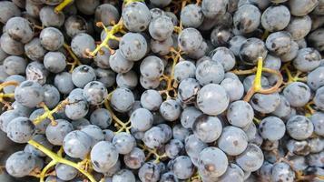 raccolta di uve mature. sfondo di uve da vino rosso. foto