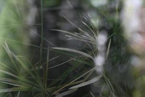 foglia di pianta dell'albero di papiro verde. foto