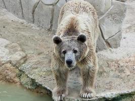 orso grizzly sulla terra da vicino foto