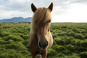 il paesaggio islandese bellissimo stallone foto