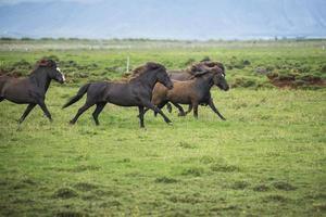 il paesaggio islandese bellissimi stalloni foto