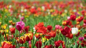Prato di tulipani multicolori vicino a Krasnodar, in Russia foto