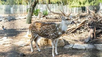 un bellissimo cervo chital maculato in un parco yarkon foto