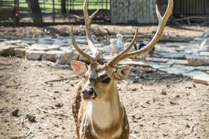 Close-up spotted chital deer in un parco yarkon tel aviv, israele foto