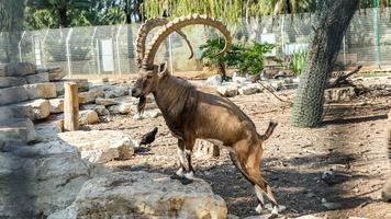 capre di montagna nel parco di yarkon tel aviv, israele foto