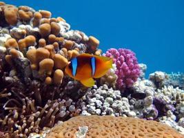 pesce pagliaccio del mar rosso. foto