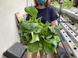 una mano che tiene il choy sum appena coltivato usando il sistema idroponico foto