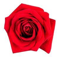 grande rosa rossa fresca foto
