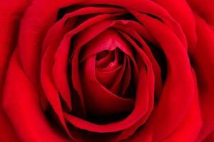 sfondo di una rosa rossa fresca foto