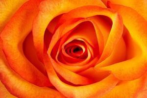 sfondo di una rosa arancione fresca foto