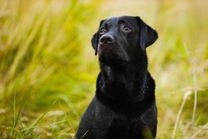 il labrador guarda con aria colpevole il suo padrone foto
