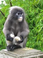scimmia scura della foglia foto