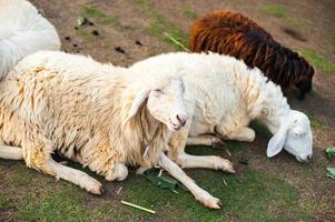 pecore nella fattoria foto