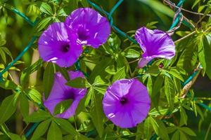 Fiore di gloria di mattina viola messicano sul recinto con foglie verdi. foto