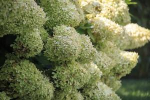 pianta di ortensia bianca in fiore in estate foto