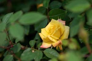 rose gialle su sfondo verde foto