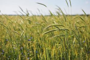 un primo piano di alcune spighe verdi in un campo di grano che matura prima del raccolto in una giornata di sole. spighe di grano mature. spighe fresche e succose di giovane grano verde in primavera. campo di grano verde. messa a fuoco selettiva foto