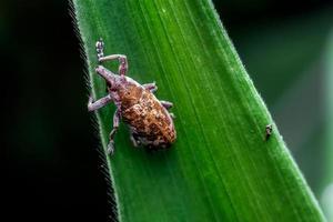 primo piano del tonchio su una foglia. un insetto coleottero giallo con il nome latino curculionoidea. foto