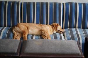 golden retriever che dorme sul divano di casa foto