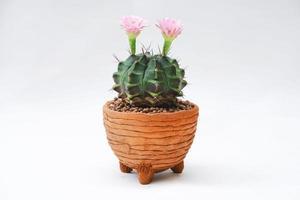cactus con fiore rosa in un vaso di argilla su sfondo bianco foto