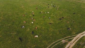 mucche nel campo foto