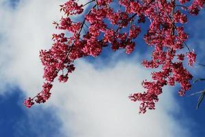 sakura rosa fiore di ciliegio fiore a chiang mai, thailandia foto