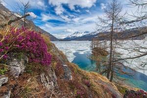disgelo in alta montagna con fiori primaverili e mezzo lago ghiacciato, engadina vicino a sankt moritz foto