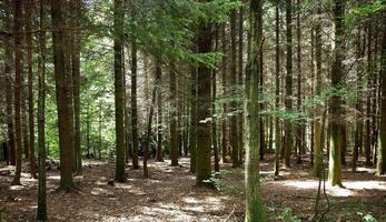 alberi in una foresta foto