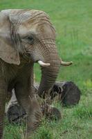 elefante africano del cespuglio foto