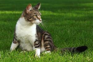 gatto che gioca all'aperto sull'erba foto