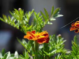 bellissimi fiori d'arancio calendule o tagetes patula close-up foto