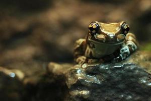 una rana del latte amazzonica seduta su una roccia foto
