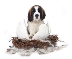 giovane cucciolo di san bernardo su sfondo bianco foto