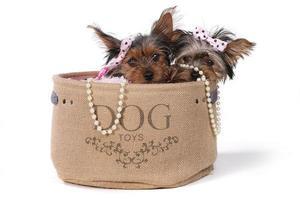 cuccioli di yorkshire terrier vestiti di rosa foto