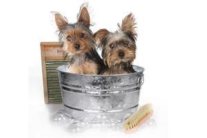 tazza da tè yorkshire terrier sul bagno bianco foto