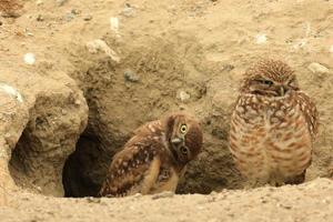 scavando giovani gufi nel sud della California nel loro habitat selvaggio foto