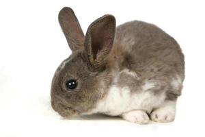 simpatico coniglio grigio da compagnia foto