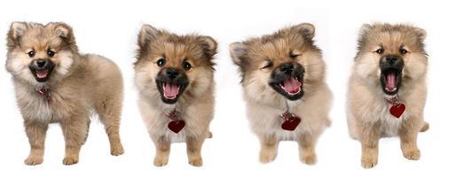 4 pose di un simpatico cucciolo di Pomerania foto