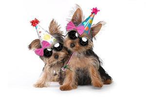 tema compleanno cuccioli di yorkshire terrier su bianco foto