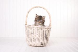 gattino maincoon con grandi occhi nel cestino foto