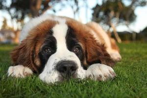 carino san bernardo cucciolo di razza pura foto