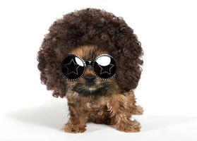 cucciolo di yorkshire terrier che indossa un afro e occhiali da sole foto