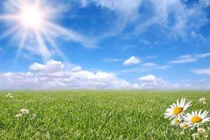 bella margherita luminosa e campo in erba foto